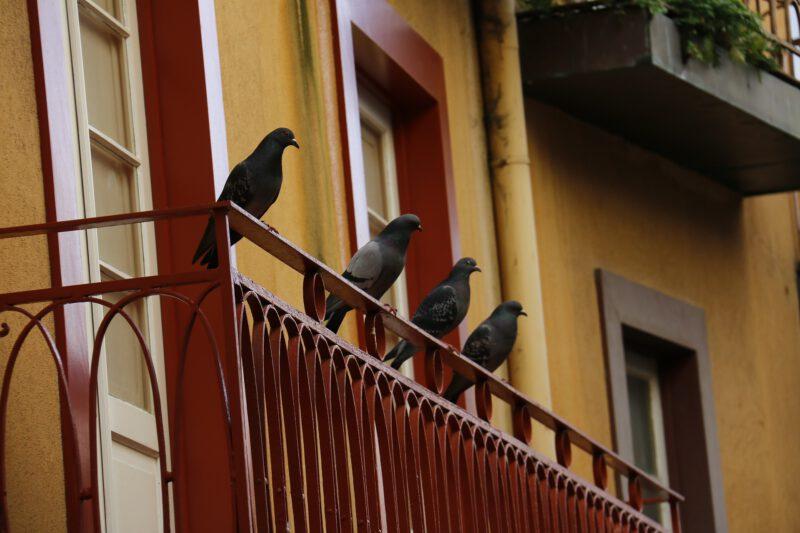 Jak pozbyć się gołębi z balkonu?